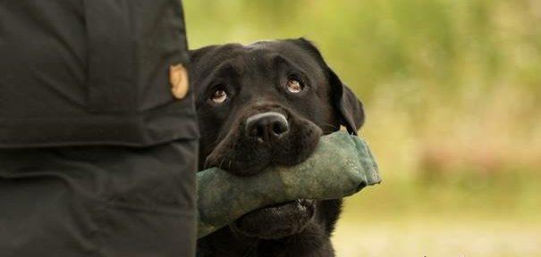a labrador nem fog fogyni)